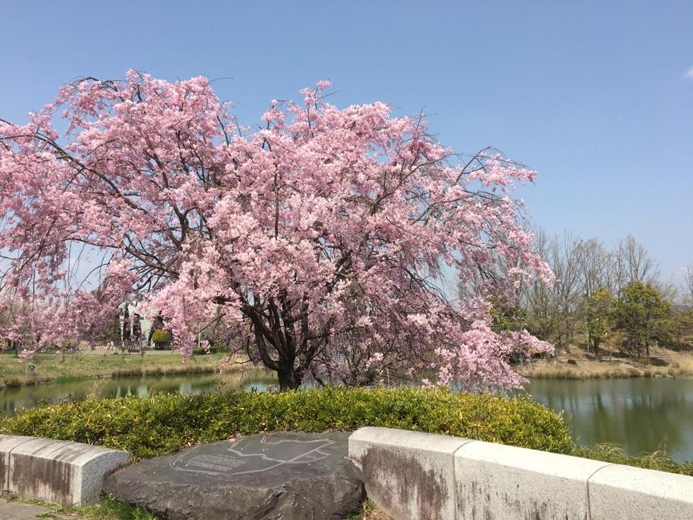 春日井市落合公園の桜